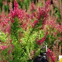 calluna_vulgaris_dark.beauty.