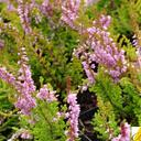 calluna_vulgaris_winter.red.